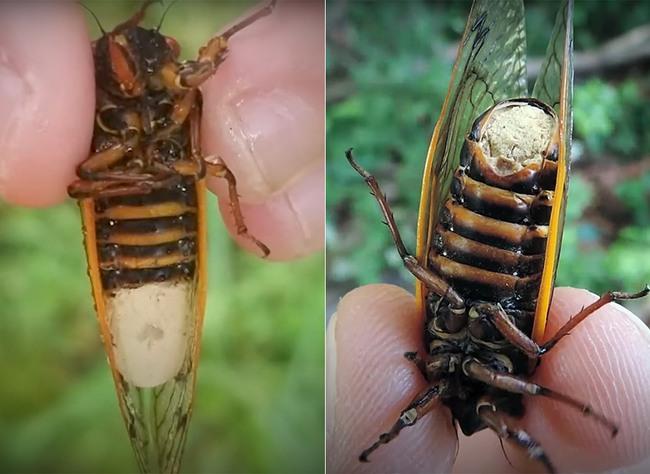 fungus-cicadas-zombie-1596686192604487031077.jpg