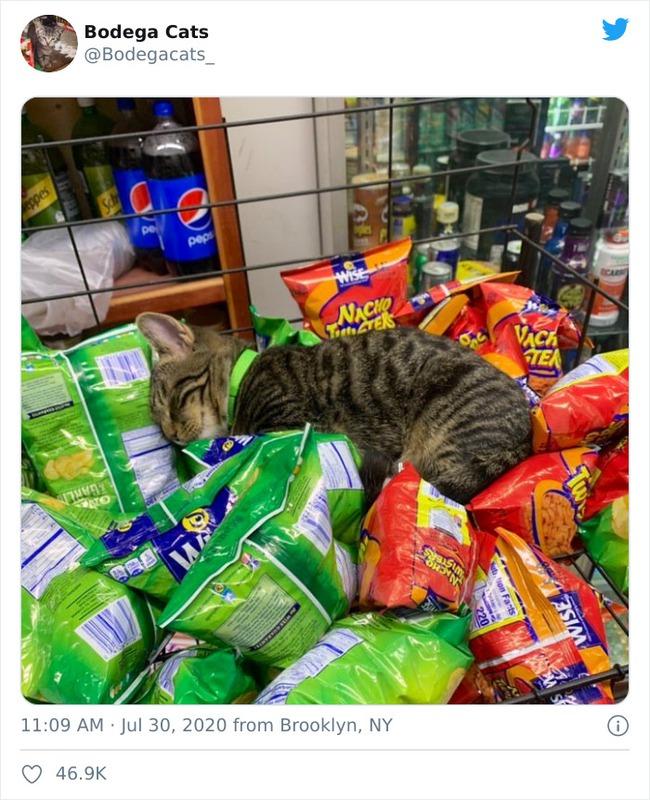 Tổng hợp bọn mèo láo lếu khệnh khạng luôn cho mình là ông chủ - Ảnh 13.