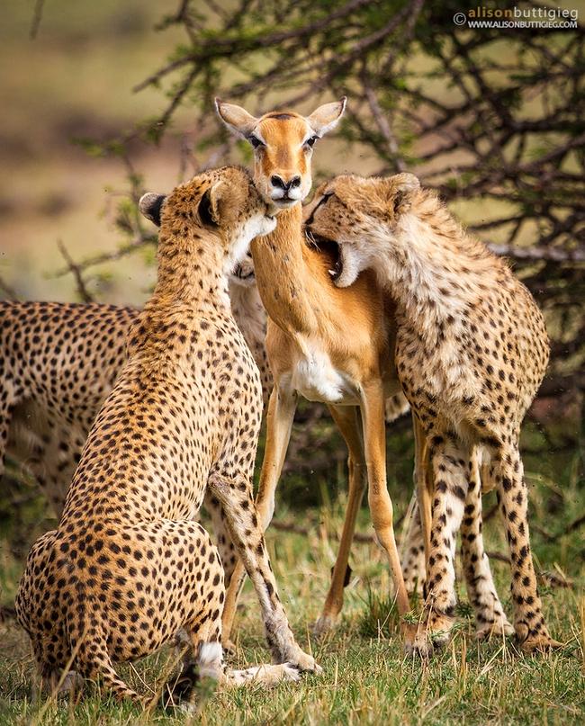 Linh dương mẹ hy sinh để bảo vệ con trước đàn báo, đến phút cuối vẫn hướng mắt về con, câu chuyện viral MXH nhưng bao nhiêu % là thật? - Ảnh 1.