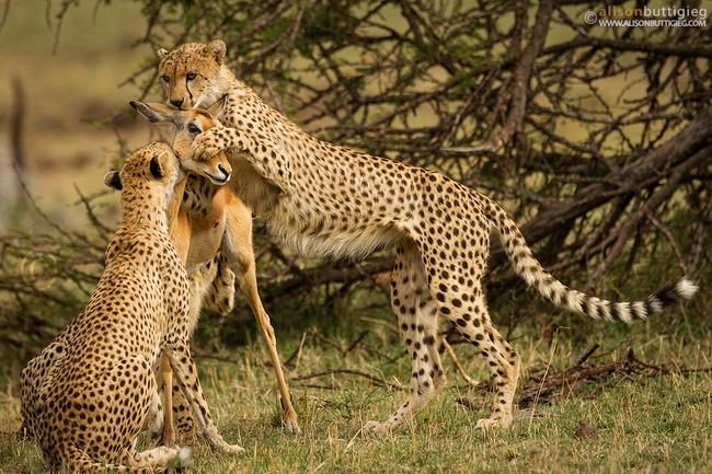 Linh dương mẹ hy sinh để bảo vệ con trước đàn báo, đến phút cuối vẫn hướng mắt về con, câu chuyện viral MXH nhưng bao nhiêu % là thật? - Ảnh 4.
