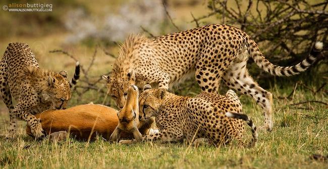 Linh dương mẹ hy sinh để bảo vệ con trước đàn báo, đến phút cuối vẫn hướng mắt về con, câu chuyện viral MXH nhưng bao nhiêu % là thật? - Ảnh 6.