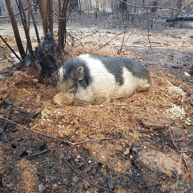 home-destroyed-wildfire-pig-charlie-7-16012817848942140960717.jpg
