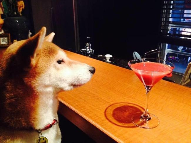Quên Cậu Vàng nghèo khổ trong lão Hạc đi, chó Shiba giờ đổi đời sống vương giả rồi: Ngồi chễm chệ ở quầy bar, gọi cocktail nghe nhạc xập xình! - Ảnh 1.