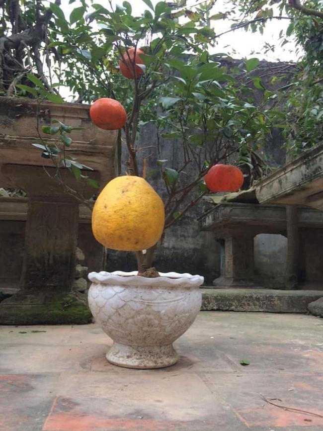 """Chán đào, quất ngày Tết, dân mạng """"đổi gió"""" sang chơi loạt cây bonsai chất lừ: Củ cải khổng lồ nở hoa tím biếc, táo lùn """"pha-ke"""" chi chít quả đỏ - Ảnh 15."""