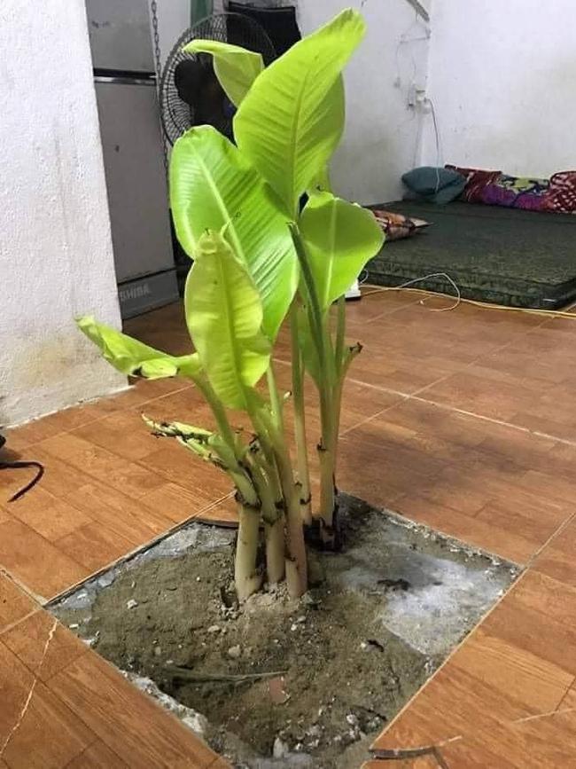 """Chán đào, quất ngày Tết, dân mạng """"đổi gió"""" sang chơi loạt cây bonsai chất lừ: Củ cải khổng lồ nở hoa tím biếc, táo lùn """"pha-ke"""" chi chít quả đỏ - Ảnh 16."""