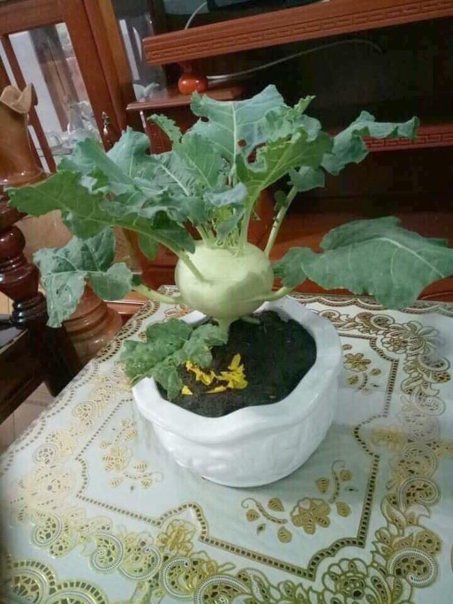 """Chán đào, quất ngày Tết, dân mạng """"đổi gió"""" sang chơi loạt cây bonsai chất lừ: Củ cải khổng lồ nở hoa tím biếc, táo lùn """"pha-ke"""" chi chít quả đỏ - Ảnh 7."""