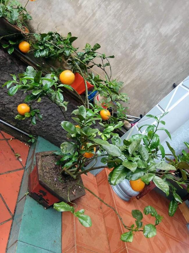 """Chán đào, quất ngày Tết, dân mạng """"đổi gió"""" sang chơi loạt cây bonsai chất lừ: Củ cải khổng lồ nở hoa tím biếc, táo lùn """"pha-ke"""" chi chít quả đỏ - Ảnh 11."""