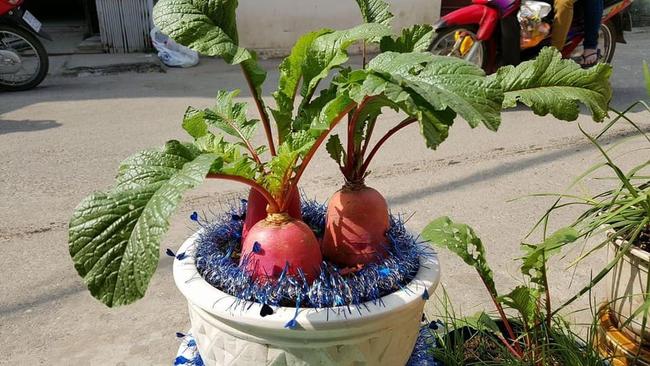 """Chán đào, quất ngày Tết, dân mạng """"đổi gió"""" sang chơi loạt cây bonsai chất lừ: Củ cải khổng lồ nở hoa tím biếc, táo lùn """"pha-ke"""" chi chít quả đỏ - Ảnh 12."""