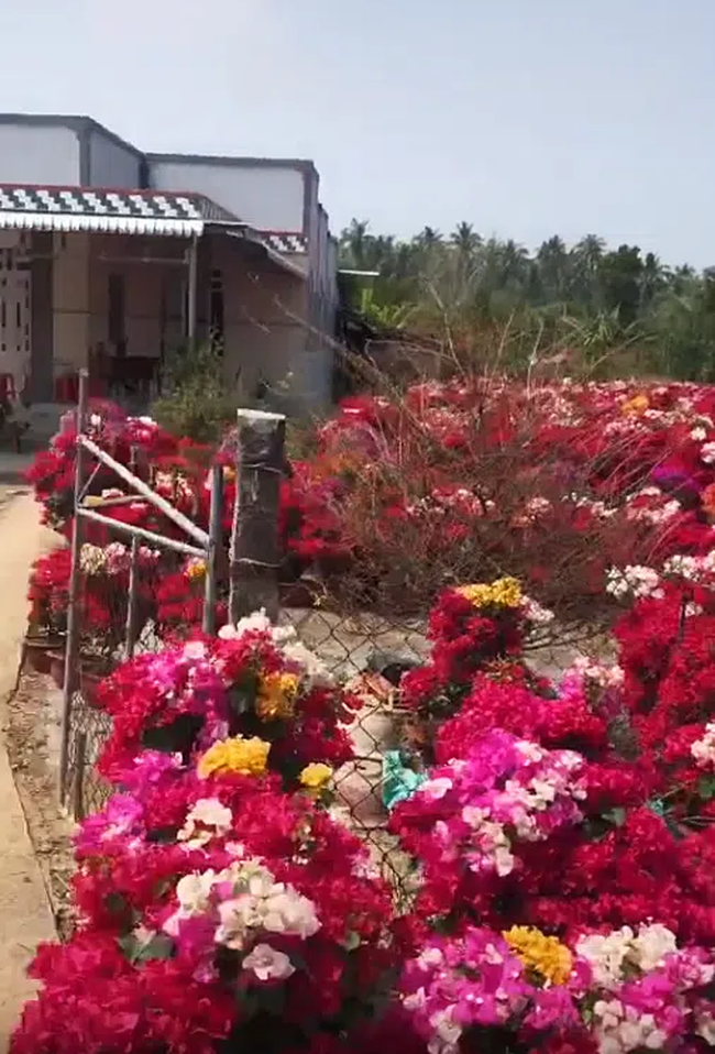 Làng hoa giấy đỏ rực rỡ như pháo Tết ở một tỉnh miền Tây, trải dài hàng cây số khiến ai cũng kinh ngạc - Ảnh 3.
