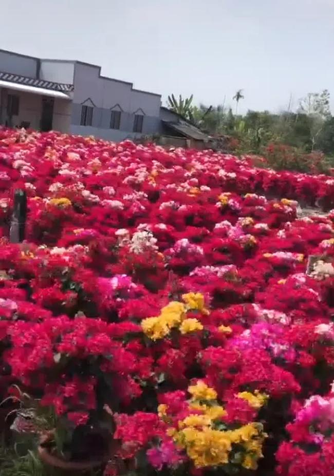 Làng hoa giấy đỏ rực rỡ như pháo Tết ở một tỉnh miền Tây, trải dài hàng cây số khiến ai cũng kinh ngạc - Ảnh 4.