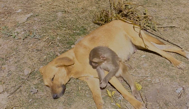 """Đang đi đường tình cờ bắt gặp bộ đôi khỉ chó quấn quýt, nhiếp ảnh gia tìm hiểu càng ngỡ ngàng hơn với mối quan hệ """"mẹ con"""" lạ đời của chúng - Ảnh 5."""