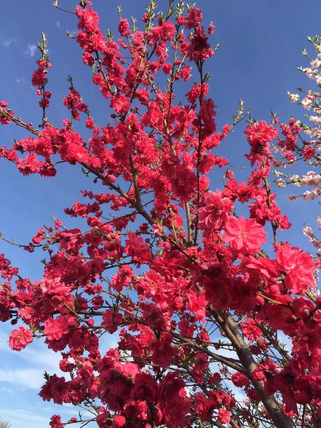 Cây hoa đào mix 3 màu đỏ - hồng - trắng siêu quý hiếm khoe sắc rực rỡ khiến ai nấy mê mẩn ngắm nhìn  - Ảnh 4.