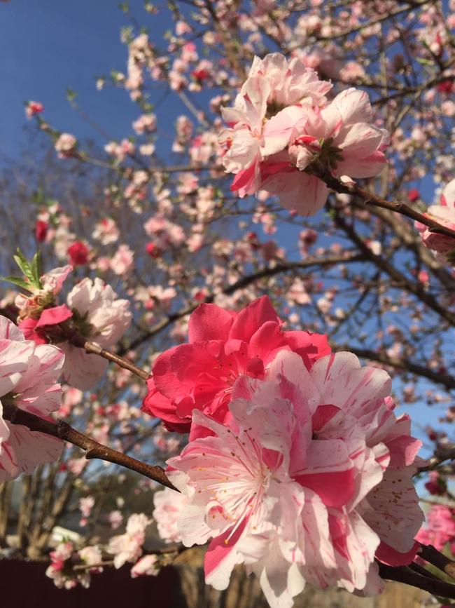 Cây hoa đào mix 3 màu đỏ - hồng - trắng siêu quý hiếm khoe sắc rực rỡ khiến ai nấy mê mẩn ngắm nhìn  - Ảnh 5.