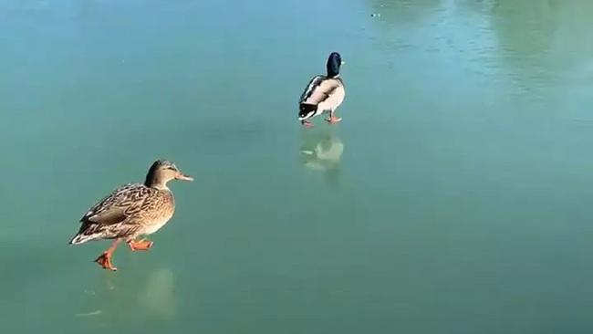 Kỳ lạ đàn vịt thong thả dạo bộ trên mặt nước, nguyên nhân khiến ai nấy bất ngờ - Ảnh 3.