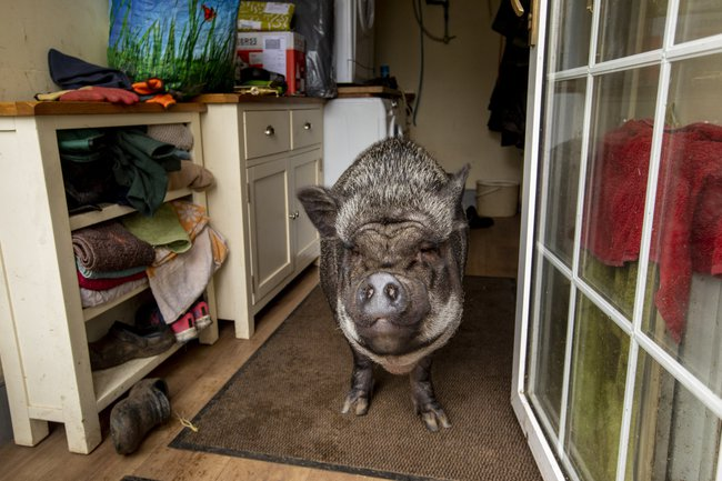 Chú lợn ỉ Việt Nam nặng 130kg bị bỏ rơi bỗng trở thành thú cưng được ăn hạt, nằm lò sưởi ở gia đình Scotland - Ảnh 5.