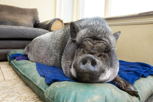 Chú lợn ỉ Việt Nam nặng 130kg bị bỏ rơi bỗng trở thành thú cưng được ăn hạt, nằm lò sưởi ở gia đình Scotland - Ảnh 4.