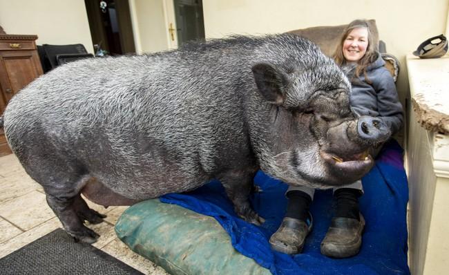 Chú lợn ỉ Việt Nam nặng 130kg bị bỏ rơi bỗng trở thành thú cưng được ăn hạt, nằm lò sưởi ở gia đình Scotland - Ảnh 1.