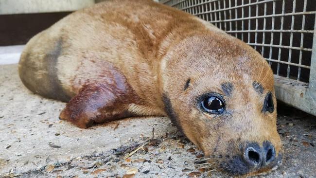 """Cái chết của chú hải cẩu 9 tháng tuổi khiến nước Anh thương tiếc: Bị chó dữ """"nhà giàu"""" tấn công dữ dội tạo nên cảnh hiện trường đẫm máu - Ảnh 6."""