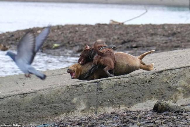 """Cái chết của chú hải cẩu 9 tháng tuổi khiến nước Anh thương tiếc: Bị chó dữ """"nhà giàu"""" tấn công dữ dội tạo nên cảnh hiện trường đẫm máu - Ảnh 2."""