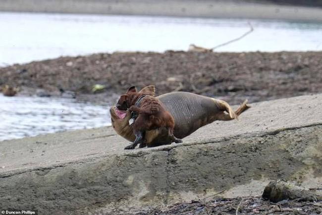 """Cái chết của chú hải cẩu 9 tháng tuổi khiến nước Anh thương tiếc: Bị chó dữ """"nhà giàu"""" tấn công dữ dội tạo nên cảnh hiện trường đẫm máu - Ảnh 1."""