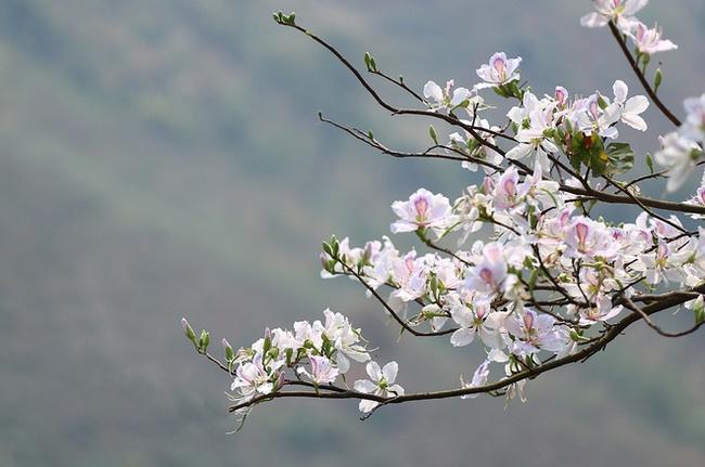 Hoa ban bừng nở cả thủ đô: Hóa ra loại hoa này còn có thể làm thuốc chữa bệnh cực hay! - Ảnh 4.