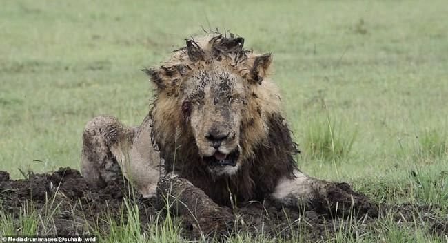 """Sư tử chăm chỉ đào đất suốt 7 tiếng để săn mồi, chấp nhận mất hình tượng """"chúa tể rừng xanh"""" để nhận thành quả đầy mãn nguyện - Ảnh 6."""