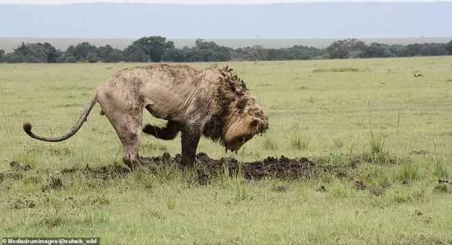 """Sư tử chăm chỉ đào đất suốt 7 tiếng để săn mồi, chấp nhận mất hình tượng """"chúa tể rừng xanh"""" để nhận thành quả đầy mãn nguyện - Ảnh 2."""