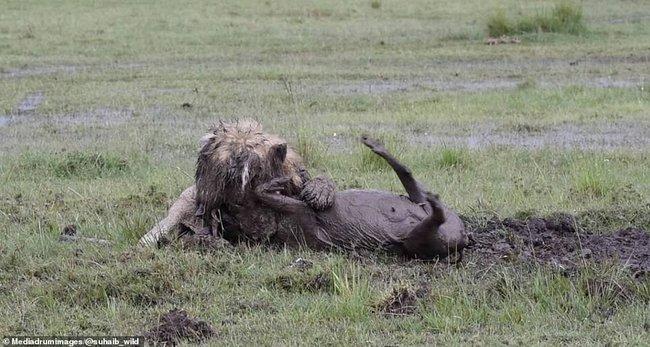 """Sư tử chăm chỉ đào đất suốt 7 tiếng để săn mồi, chấp nhận mất hình tượng """"chúa tể rừng xanh"""" để nhận thành quả đầy mãn nguyện - Ảnh 8."""