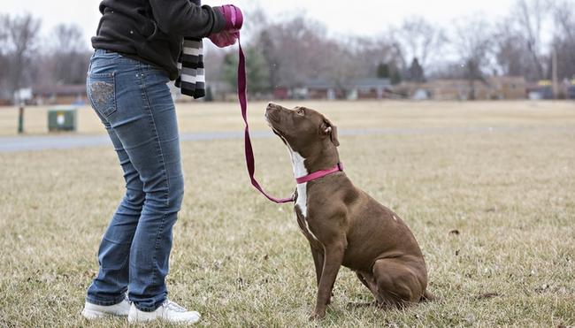 """Kinh nghiệm ứng phó nếu chẳng may gặp chó pitbull """"lên cơn"""" - Ảnh 6."""