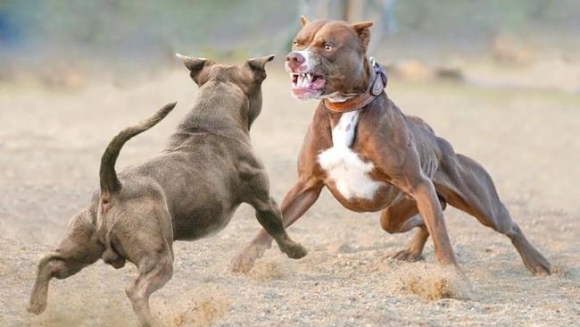 Từ vụ chó cắn chết người vừa xảy ra: Cần làm gì để ứng phó với chó pitbull đang nổi điên? - Ảnh 4.