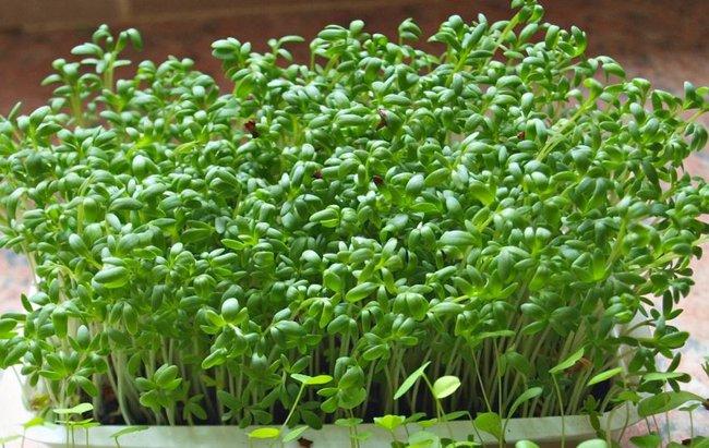 Rau mầm trồng tại nhà đơn giản - giá rẻ, khi chế biến món ăn lại cực ngon, chị em đừng bỏ lỡ! - Ảnh 3.