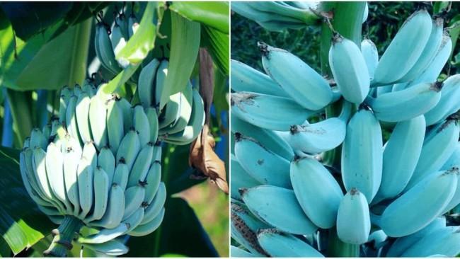 Giống chuối kỳ lạ xanh biếc tưởng chỉ có thể là photoshop nào ngờ có thật 100%, lại còn được trồng ở rất gần Việt Nam - Ảnh 1.