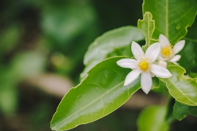 Cách trồng cây chanh từ hạt cho quả căng tròn, mọng nước vượt mong đợi - Ảnh 9.