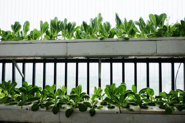 Những điều bắt buộc phải biết nếu muốn trồng rau trên ban công chung cư - Ảnh 6.