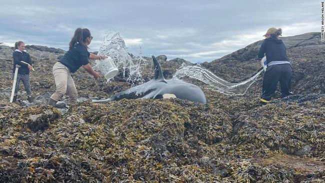 Cá voi sát thủ mắc cạn và quá trình giải cứu nghẹt thở bắt đầu từ những xô nước nhỏ tạo ra điều kỳ diệu 6 tiếng sau - Ảnh 5.