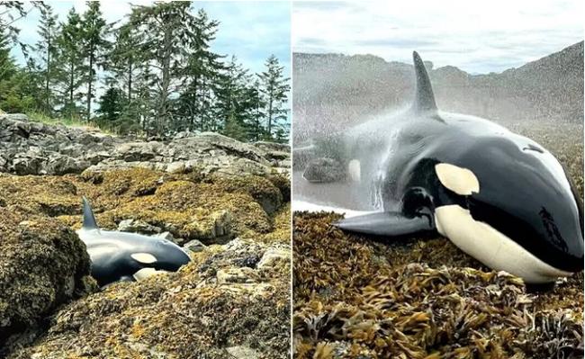Cá voi sát thủ mắc cạn và quá trình giải cứu nghẹt thở bắt đầu từ những xô nước nhỏ tạo ra điều kỳ diệu 6 tiếng sau - Ảnh 2.