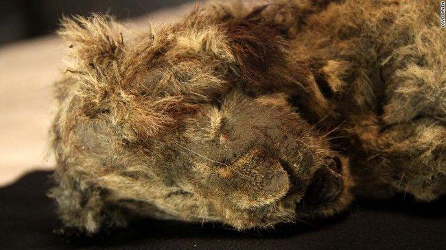 """Bức ảnh con sư tử tưởng như """"đồ chơi"""" nhưng lại ẩn chứa bí mật bị chôn vùi 28.000 năm, mổ bụng ra càng khiến các nhà khoa học ngỡ ngàng - Ảnh 4."""