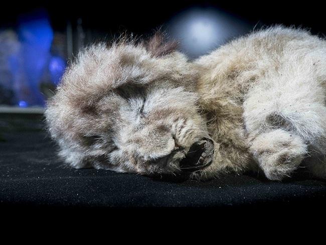 """Bức ảnh con sư tử tưởng như """"đồ chơi"""" nhưng lại ẩn chứa bí mật bị chôn vùi 28.000 năm, mổ bụng ra càng khiến các nhà khoa học ngỡ ngàng - Ảnh 6."""