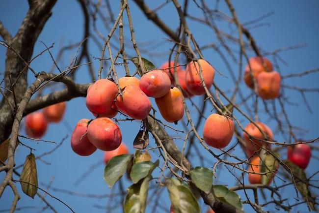 """""""Thứ quà của mùa thu"""" đỏ hồng quyến rũ giúp đánh bay vô số bệnh dễ gặp, thu rồi tận dụng đi thôi! - Ảnh 4."""