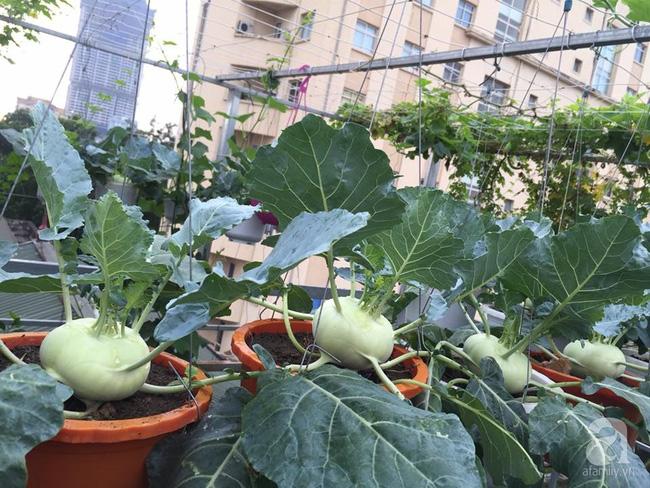 Nữ giảng viên đảm đang trồng gần trăm cây su hào củ siêu to trên sân thượng 40m² ở Hà Nội - Ảnh 2.