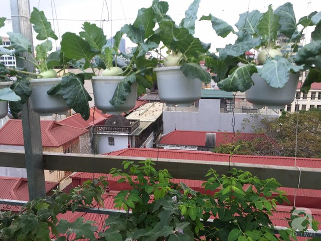 Nữ giảng viên đảm đang trồng gần trăm cây su hào củ siêu to trên sân thượng 40m² ở Hà Nội - Ảnh 3.