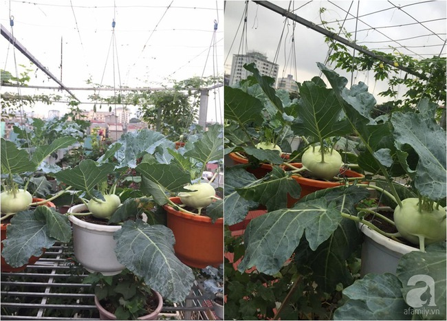 Nữ giảng viên đảm đang trồng gần trăm cây su hào củ siêu to trên sân thượng 40m² ở Hà Nội - Ảnh 5.