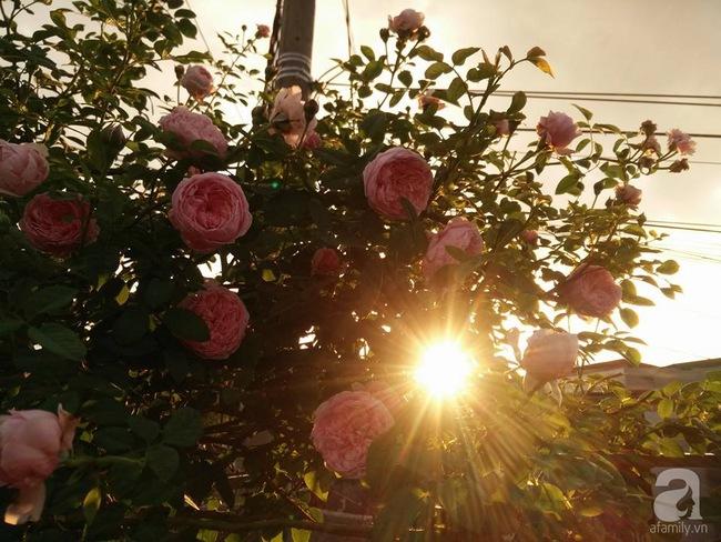 Bí quyết chăm sóc hoa hồng nở form đẹp, sai hoa như thợ vườn chuyên nghiệp của mẹ đảm ở Đak Lak - Ảnh 2.