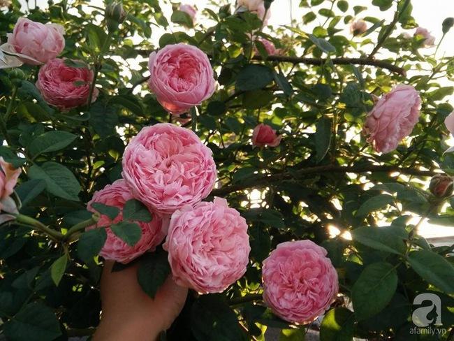 Bí quyết chăm sóc hoa hồng nở form đẹp, sai hoa như thợ vườn chuyên nghiệp của mẹ đảm ở Đak Lak - Ảnh 3.