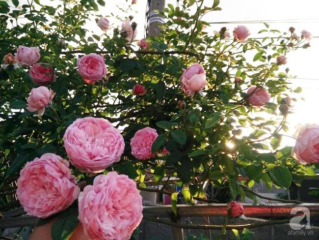 Bí quyết chăm sóc hoa hồng nở form đẹp, sai hoa như thợ vườn chuyên nghiệp của mẹ đảm ở Đak Lak - Ảnh 4.