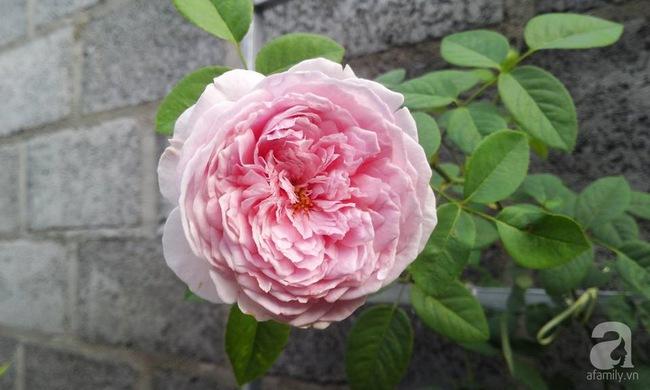 Bí quyết chăm sóc hoa hồng nở form đẹp, sai hoa như thợ vườn chuyên nghiệp của mẹ đảm ở Đak Lak - Ảnh 7.