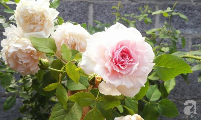 Bí quyết chăm sóc hoa hồng nở form đẹp, sai hoa như thợ vườn chuyên nghiệp của mẹ đảm ở Đak Lak - Ảnh 8.