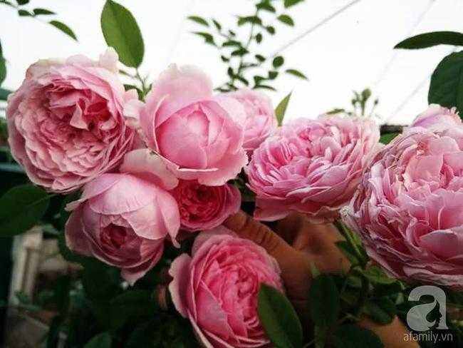 Bí quyết chăm sóc hoa hồng nở form đẹp, sai hoa như thợ vườn chuyên nghiệp của mẹ đảm ở Đak Lak - Ảnh 10.