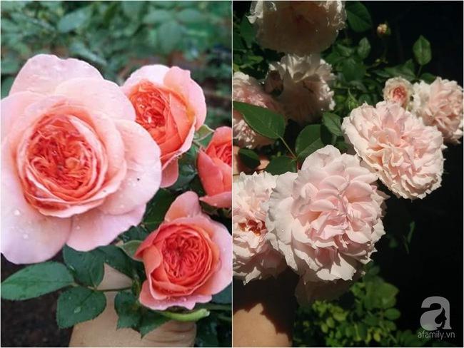 Bí quyết chăm sóc hoa hồng nở form đẹp, sai hoa như thợ vườn chuyên nghiệp của mẹ đảm ở Đak Lak - Ảnh 12.
