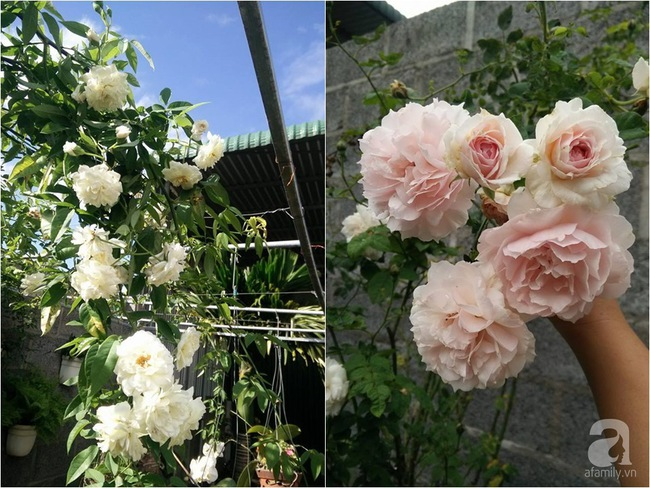 Bí quyết chăm sóc hoa hồng nở form đẹp, sai hoa như thợ vườn chuyên nghiệp của mẹ đảm ở Đak Lak - Ảnh 13.
